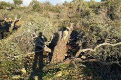 """اقتلاع 36 شجرة زيتون في قرية ياسوف على يد مستعمري مستعمرة """" تفوح"""""""