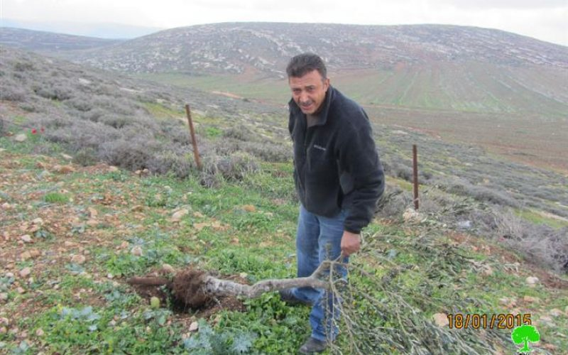 Adi Ad colonist sabotage 14 olive trees entirely in Ramallah