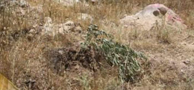 سلطات الاحتلال الاسرائيلية تقتلع اشتال زيتون في قرية حوسان
