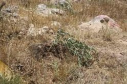 Israeli Authorities uprooted +200 Olive Seedlings in Husan Village West of Bethlehem Governorate