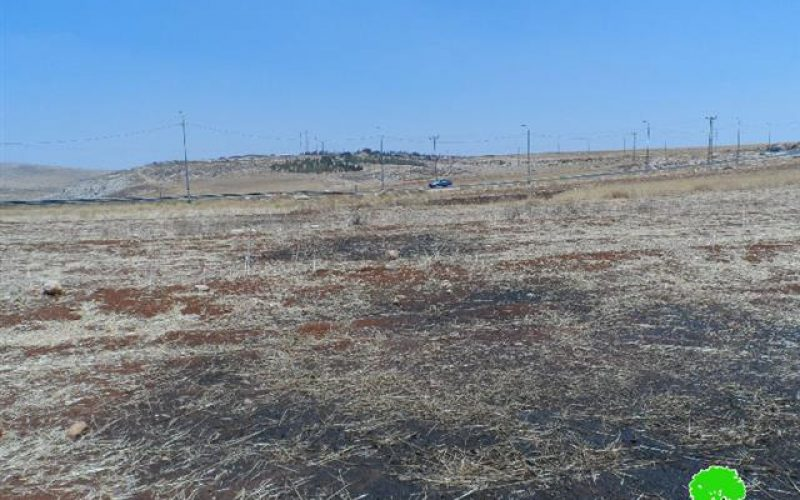 Torching 15 tons of wheat crops in the Ramallah village of Al-Tayba