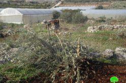 الاحتلال يدمر أراضي زراعية ويقتلع ويصادر أشجار مثمرة في عزبة شوفة / محافظة طولكرم