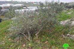 جيش الاحتلال يقلع 50 شجرة زيتون بأدوات حادة في عزبة شوفة بمحافظة طولكرم