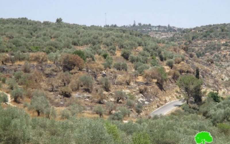 Colonists set fire to olive groves  in the Ramallah village of Ras Karkar