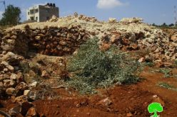 Israeli Occupation Forces uproot 250 olive trees, ravage agricultural lands in Salfit