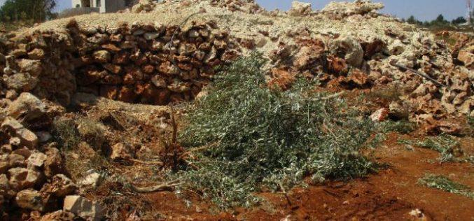 جيش الاحتلال الإسرائيلي يقتلع 250 شجرة زيتون ويجرف أراض زراعية في قرية اسكاكا
