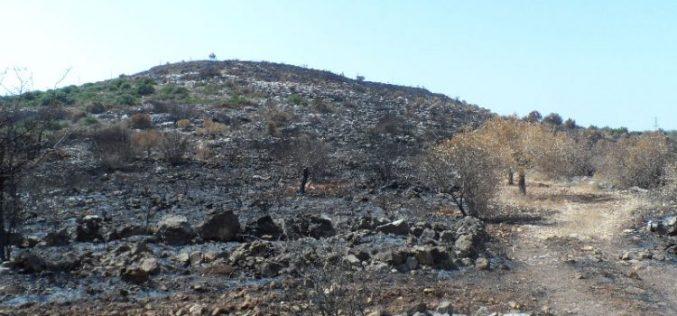 """مستعمرو مستعمرة """" رحاليم"""" يحرقون 150 شجرة زيتون في قرية الساوية بمحافظة نابلس"""