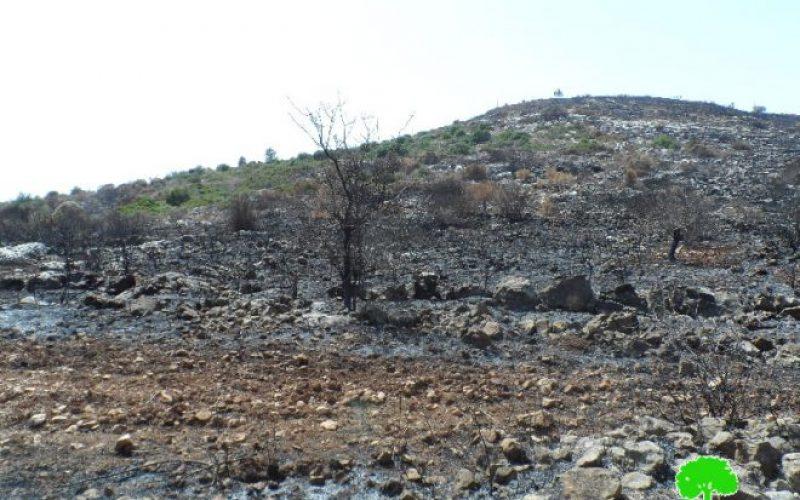 في موسم القطاف تتصاعد الاعتداءات,إحراق 23 شجرة زيتون في قرية كفر قدوم بمحافظة قلقيلية