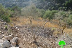 The so-called Israel Nature Authority poisons trees in Wad Qana area