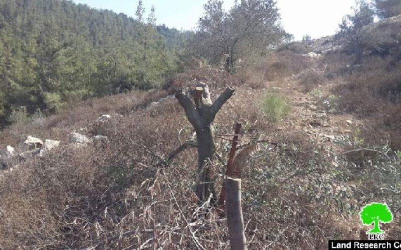 قص وتسميم بالمواد الكيماوية لـ 20 شجرة زيتون في قرية نحالين بمحافظة بيت لحم