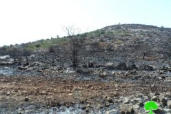 During the olive harvesting season: Israeli Occupation Forces set fire to olive trees in Qalqiliya governorate
