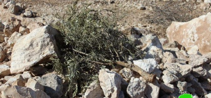 Israeli Occupation Forces ravage 28 agricultural dunums in Beit Ula town