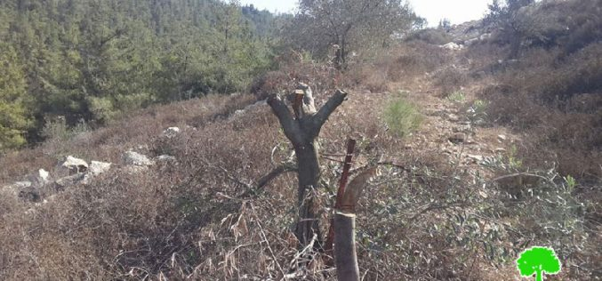 Colonists cut down and poison olive trees in the Bethlehem village of Nahhalin