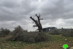 Israeli Occupation Forces uproot aging olive trees in Qalqiliya