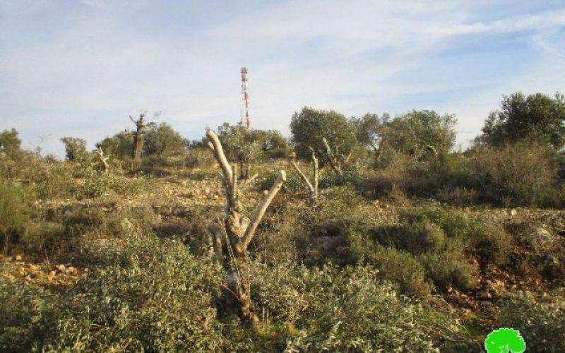الشروع باقتلاع ما يزيد عن 800 شجرة زيتون شرق مدينة قلقيلية