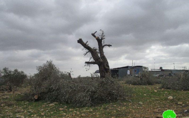 اقتلاع عشرات أشجار الزيتون لشق طريق استعماري على أراضي قرية عزون