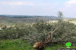 Israeli Occupation Forces ravage lands and uproot trees in Hebron governorate