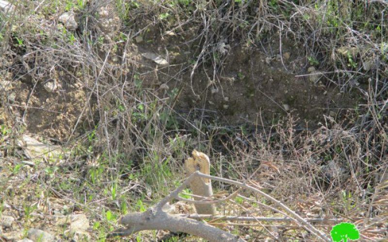 """إتلاف 320 شجرة زيتون ولوزيات في قرية برقة على يد عصابة """"أبناء التلال"""""""