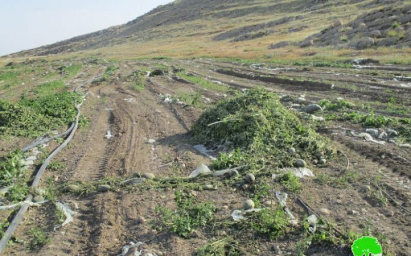Israeli Occupation Forces ravage lands ad uproot palm trees in Jericho