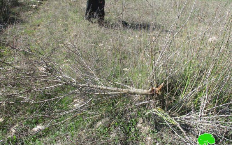 إتلاف 320 شجرة زيتون ولوزياتفي قرية برقة على يد عصابة أبناء التلال