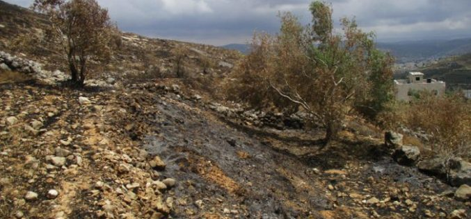 Colonists of Givat Ronen torch aging olive trees in Nablus governorate