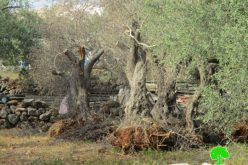 Israeli dozers ravage 17 aging olive trees in Salfit governorate