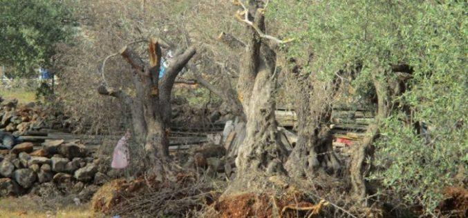Israeli dozers ravage 17 aging olive trees in Salfit governorate