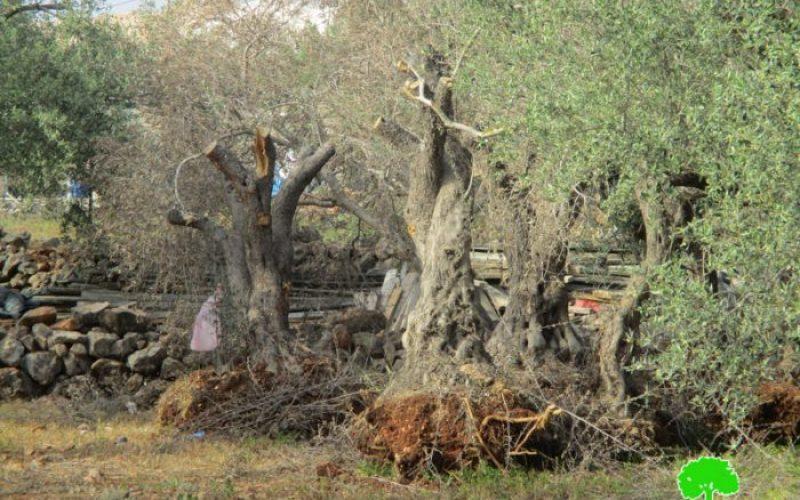 جرافات الاحتلال تدمر 17 شجرة زيتون معمّرة في بلدة دير بلوط