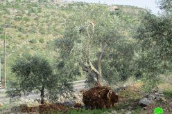 الاحتلال يدمر المزيد من الأشجار خدمة للخط المائي الناقل للمستعمرات غرب محافظة سلفيت