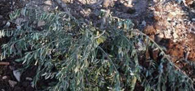 استهداف 37 شجرة زيتون في بلدة عرابة على يد المستعمرين