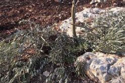 Israeli colonists sabotage 37 olive trees in Jenin governorate