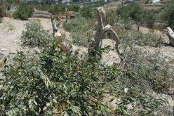 """مستعمرو """"يتسهار"""" يتلفون 45 شجرة زيتون في قرية بورين"""