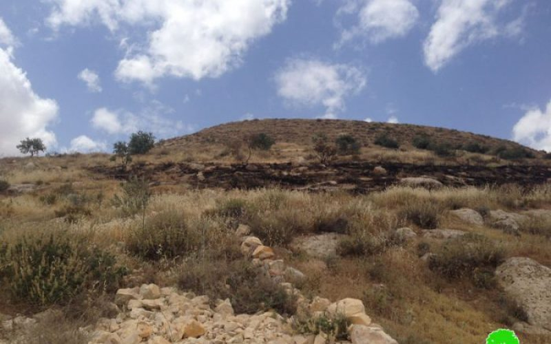 Israeli colonists torch 40 olive trees in Bethlehem governorate