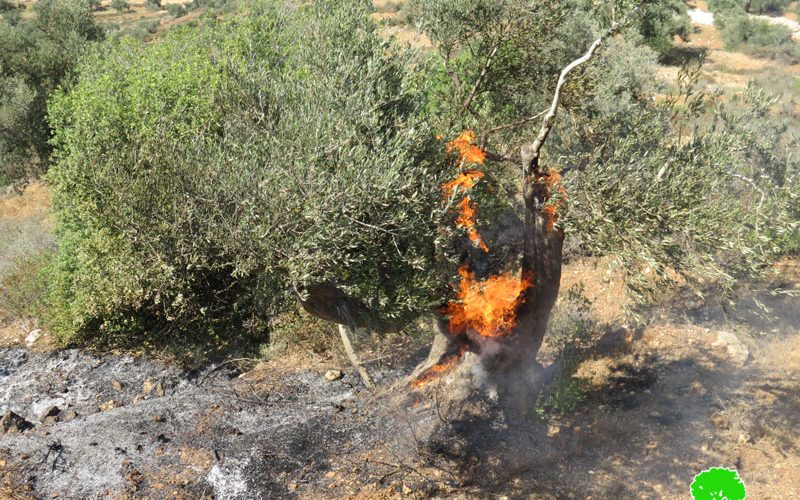"""مستعمرو مستعمرة """" عيلي"""" يحرقون 22 شجرة زيتون معمرة في قرية قريوت"""