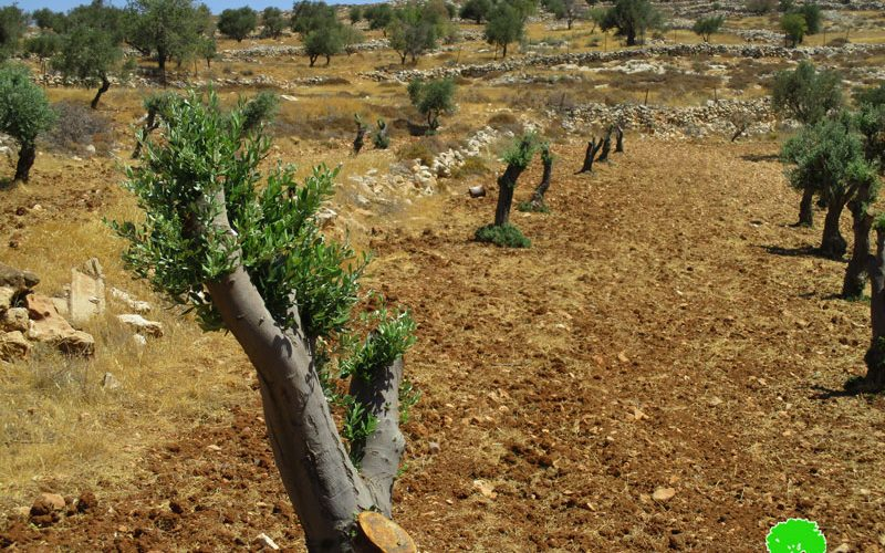 تخريب 300 شجرة زيتون مثمرة على يد المستعمرين في قرية مخماس