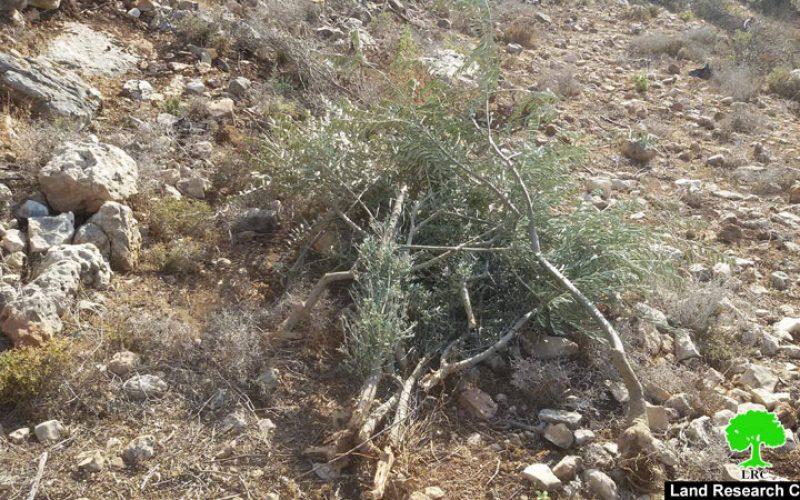 الاحتلال يقتلع 400 شجرة زيتون ويصادرها في منطقة واد قانا