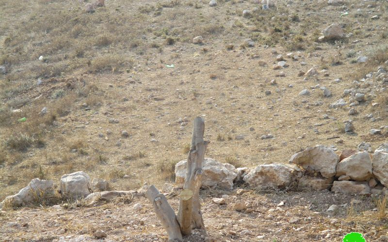 Colonists kill 16 olive trees in Nablus governorate