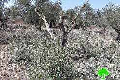 Yizhar colonists sabotage 26 olive trees in Burin village