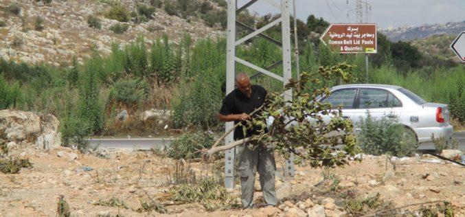 اقتلاع 63 شجرة مثمرة مختلفة في قرية بيت ليد بمحافظة طولكرم