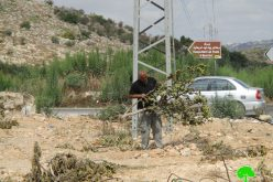Israel's Occupation Forces  uproot 63 fruitful trees in Tulkarm governorate