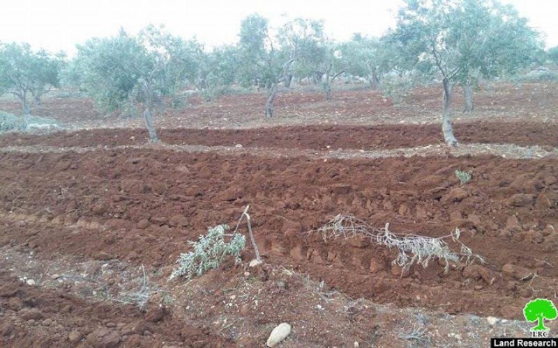 المستعمرون يتلفون 52 شجرة زيتون بشكل جزئي في بلدة قصرة بمحافظة نابلس