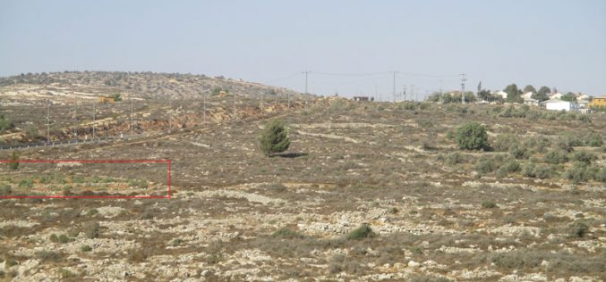 Rachelim colonists cut down 42 olive trees from Nablus governorate