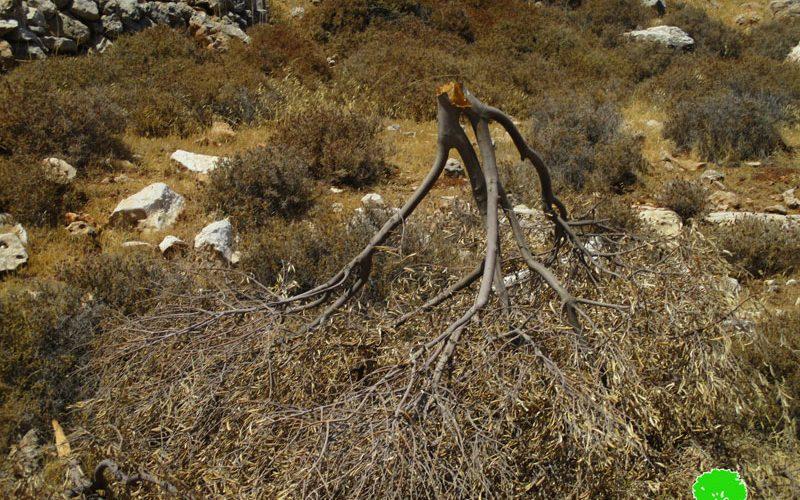 Israeli colonists sabotage olive trees in Mikhmas village