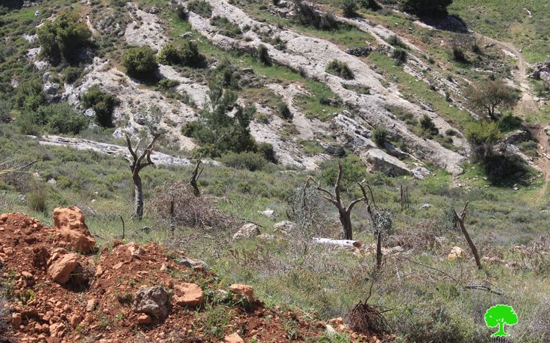Colonists cut down olive trees and close agricultural road in the Bethlehem village of Nahhalin