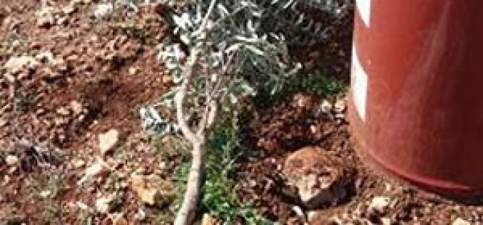 Israeli colonists uproot 110 fruitful olive trees in Yasuf