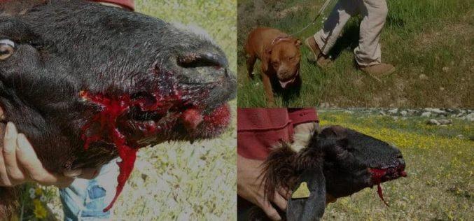 مستعمر يطلق كلبه على قطيع مواشي ويقتل رأسين منها بخربة الرهوة في بلدة الظاهرية بمحافظة الخليل