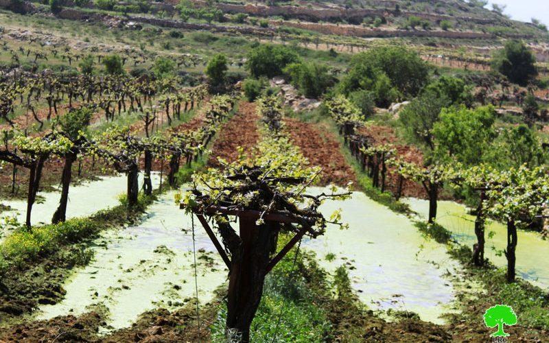 """مستعمرو """" كفار عتصيون"""" يغرقون أراضي بلدة بيت أمر الزراعية بالمياه العادمة / محافظة الخليل"""