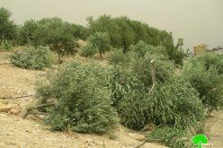 اقتلاع وخلع 320 شجرة زيتون مثمرة في قرية بردلة محافظة طوباس