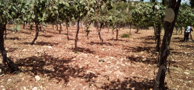 مستعمرون يعدمون 400 شجرة عنب شرق الخليل