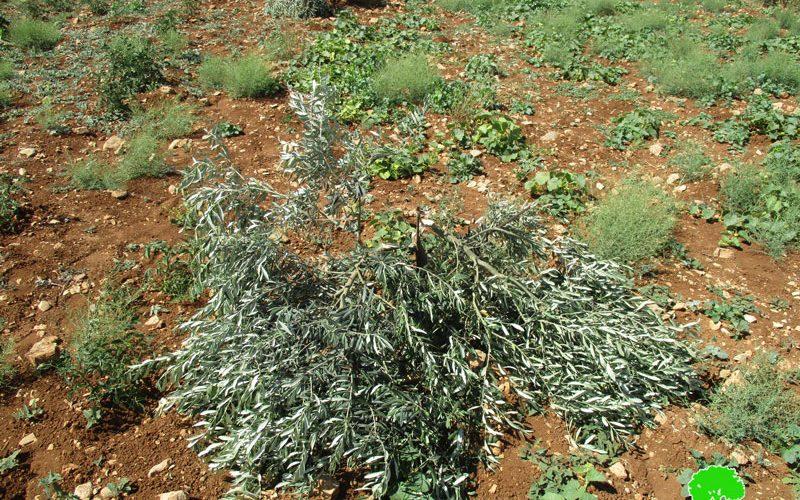 اقتلاع وتخريب 270 غرسة زيتون على يد مستعمري عادي عاد في بلدة ترمسعيا محافظة رام الله